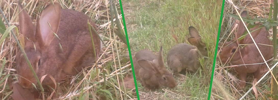 Conigli che mangiano erba