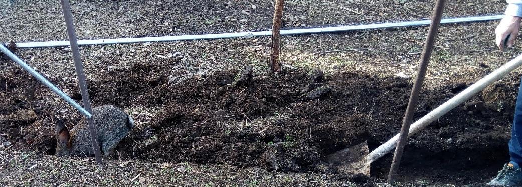 Il coniglio aiuta a scavare per la nuova serra