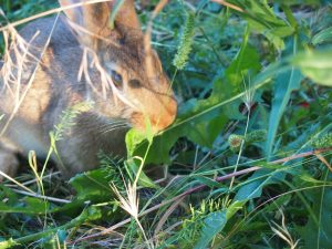 Il coniglio mangia la cicoria